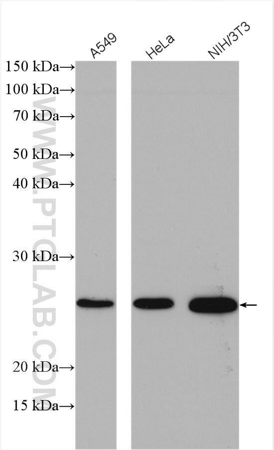 CENPH Antibody in Western Blot (WB)