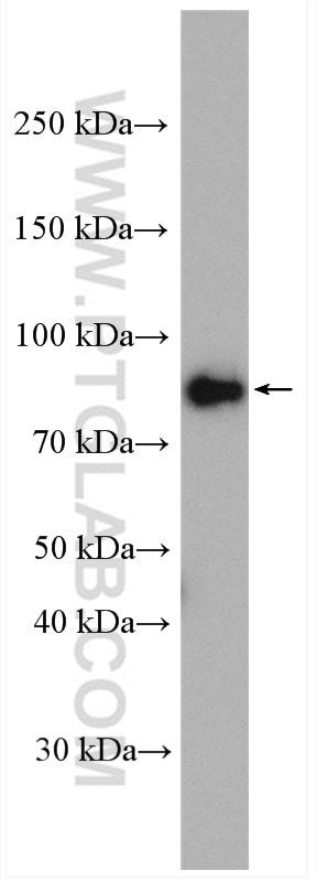 CUL1 Antibody in Western Blot (WB)