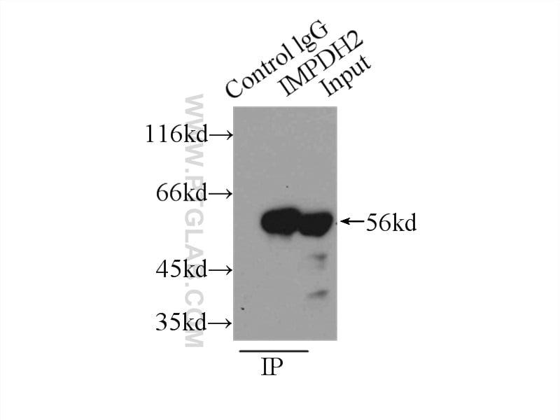 IMPDH2 Antibody in Immunoprecipitation (IP)
