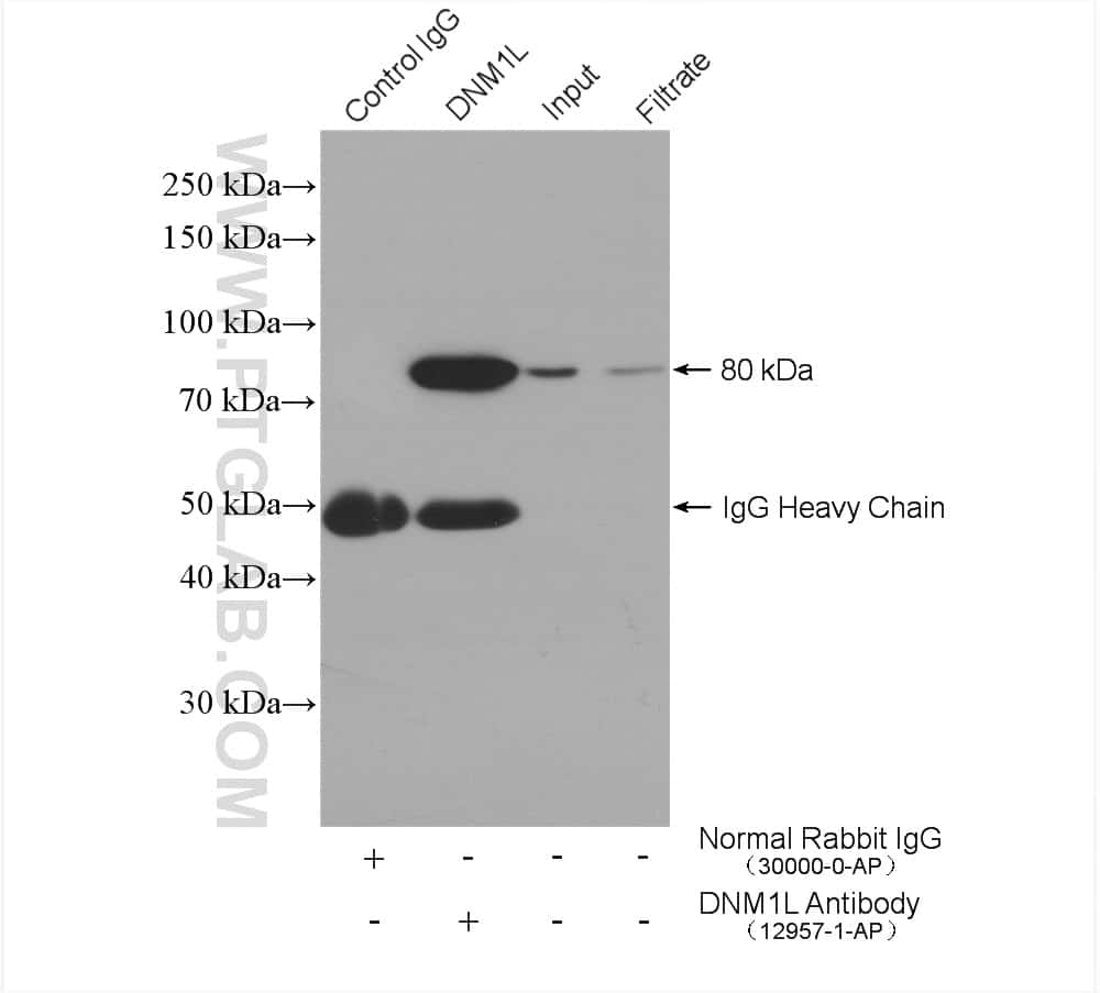 DRP1 (C-terminal) Antibody in Immunoprecipitation (IP)