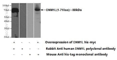 DRP1 (C-terminal) Antibody in Western Blot (WB)