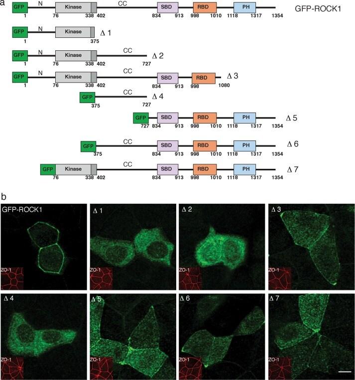 GFP Tag Antibody (Monoclonal, 3E6)