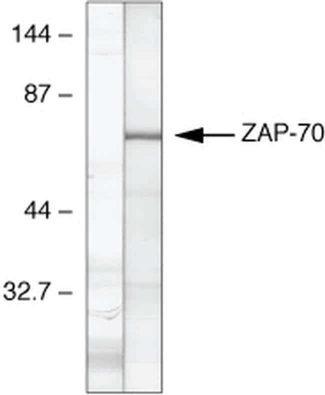 Zap-70 Antibody in Relative expression
