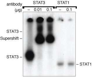 STAT3 Antibody in Gel Shift (GS)