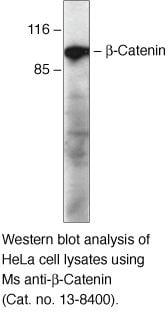 beta Catenin Antibody in Western Blot (WB)