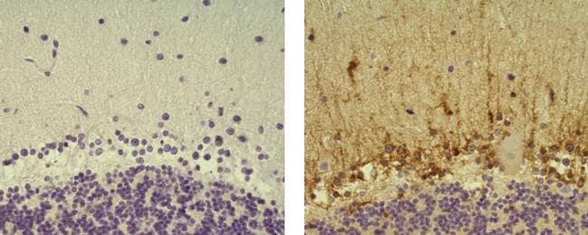 ALDH1L1 Antibody in Immunohistochemistry (Paraffin) (IHC (P))