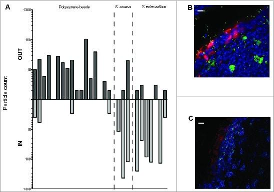 CD11c Antibody