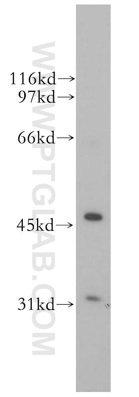 TFAP2A/AP-2 Antibody in Western Blot (WB)