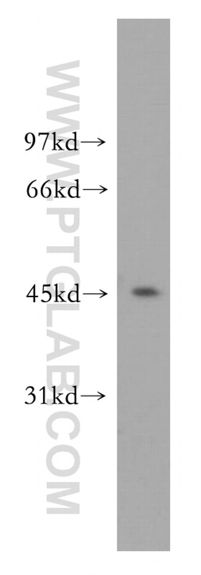 ORC4L Antibody in Western Blot (WB)