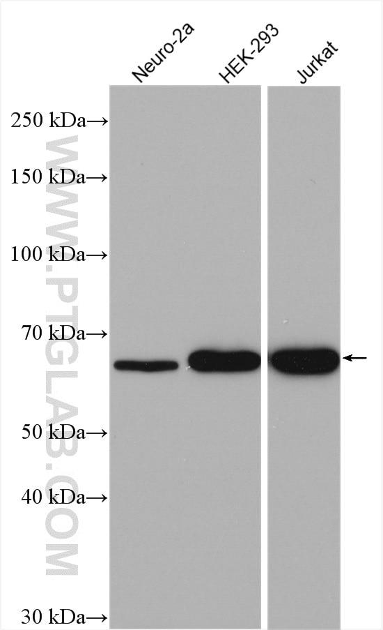 G3BP1 Antibody in Western Blot (WB)