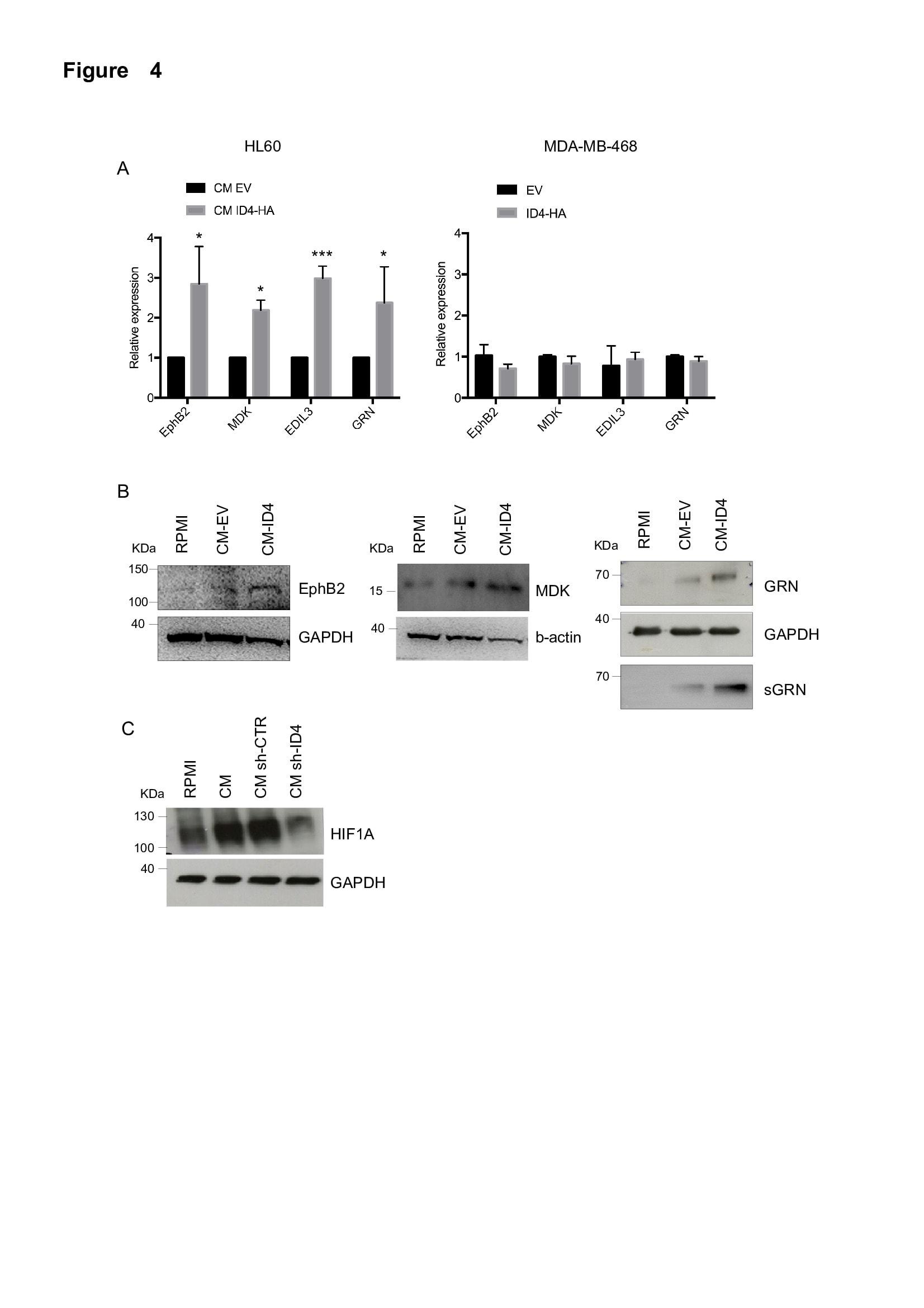 EphB2 Antibody