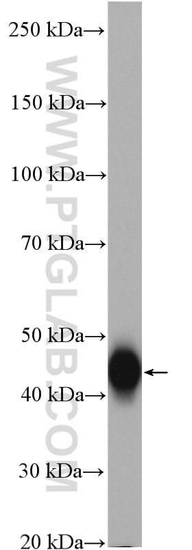 FAS/CD95 Antibody in Western Blot (WB)