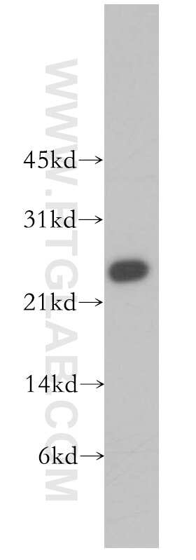 MTHFS Antibody in Western Blot (WB)