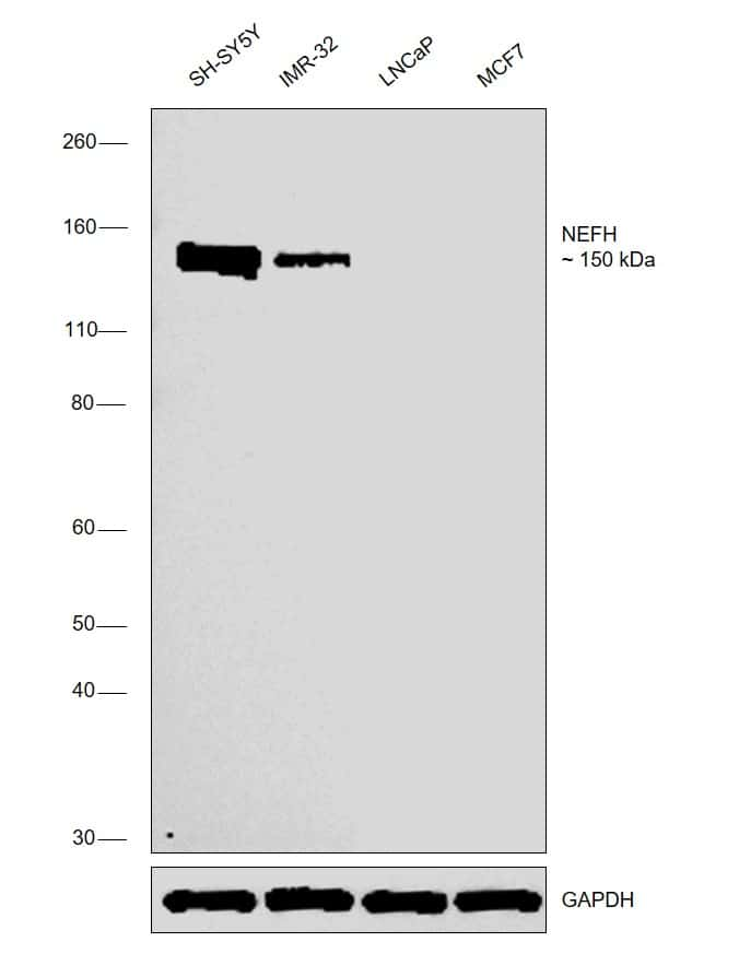 NEFH Antibody in Relative expression