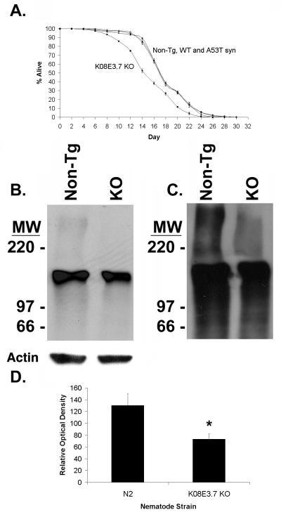 Ubiquitin Antibody