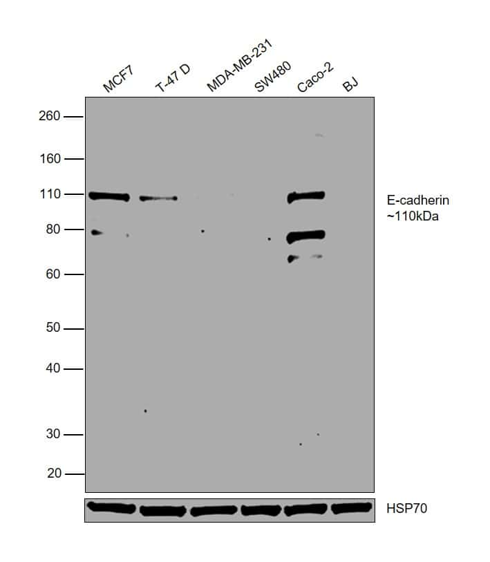 E-cadherin Antibody in Relative expression