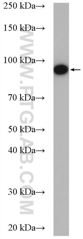 HSP90 Antibody in Western Blot (WB)