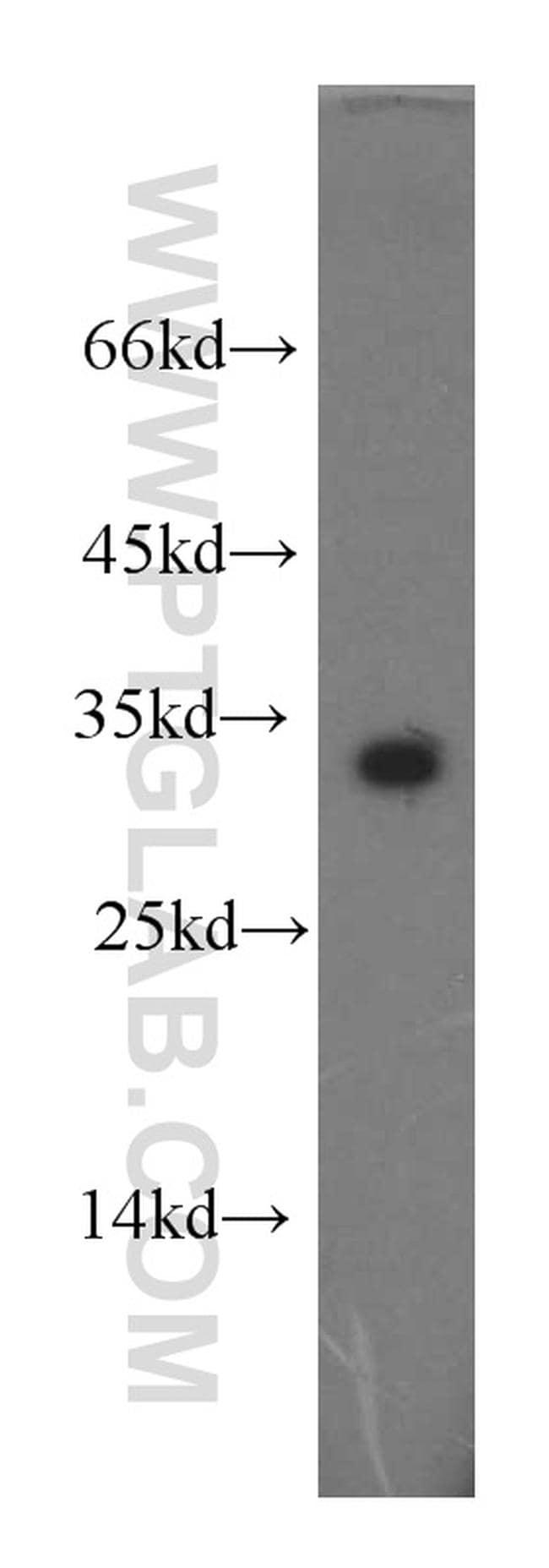 CLEC2D Antibody in Western Blot (WB)