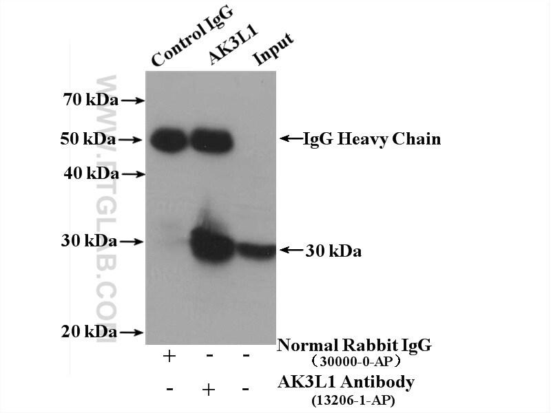 AK3L1 Antibody in Immunoprecipitation (IP)