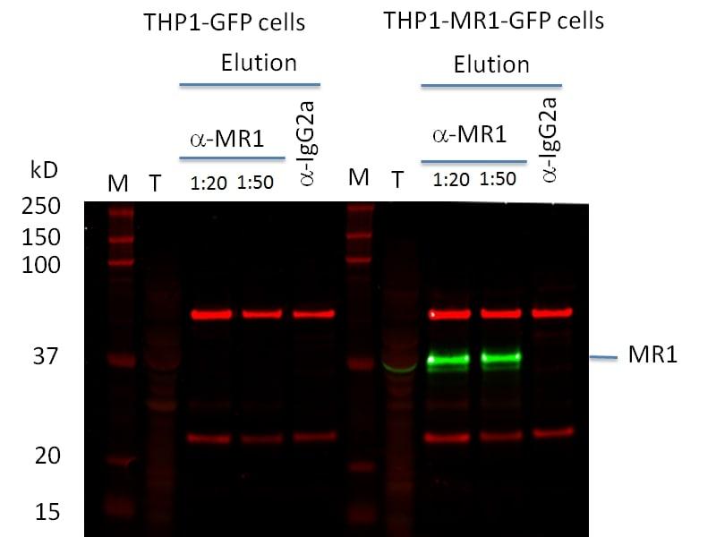 MR1 Antibody in Western Blot (WB)
