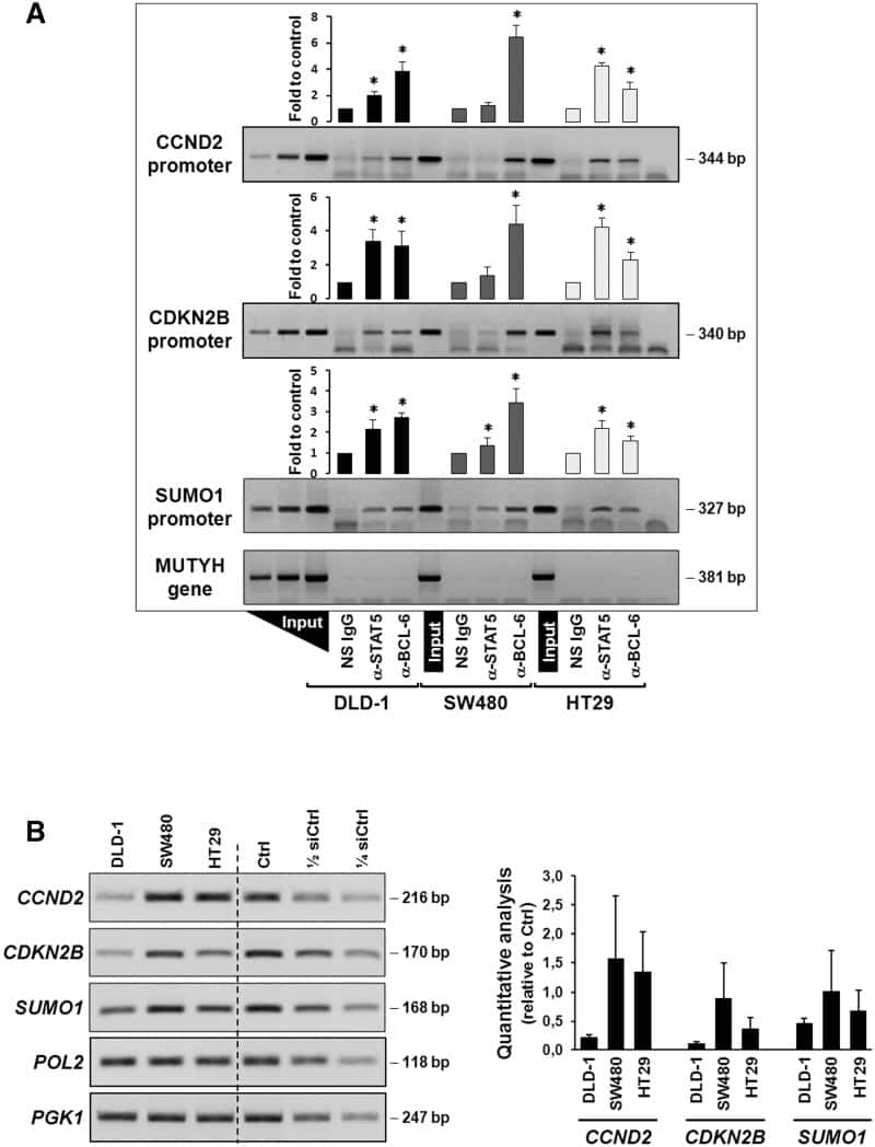 STAT5 alpha Antibody