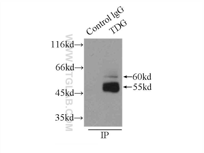 TDG Antibody in Immunoprecipitation (IP)