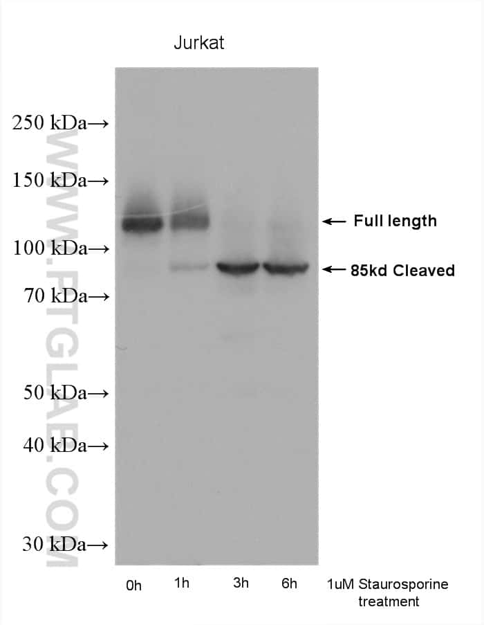 PARP1 Antibody in Western Blot (WB)