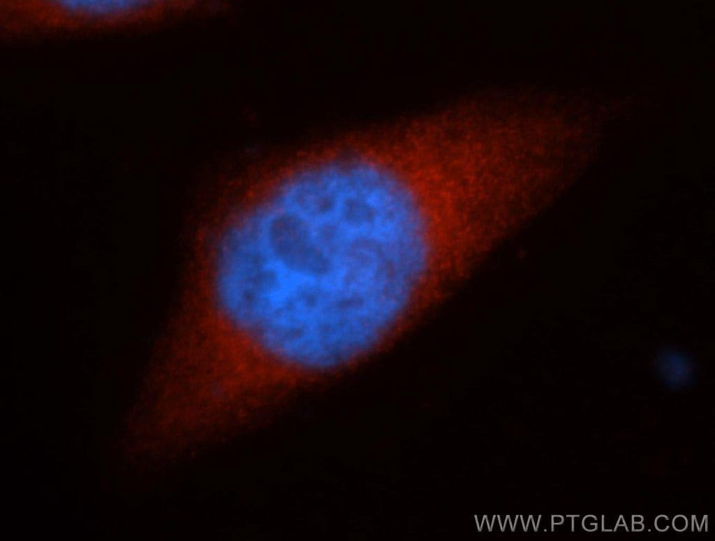HSPH1 Antibody in Immunofluorescence (IF)