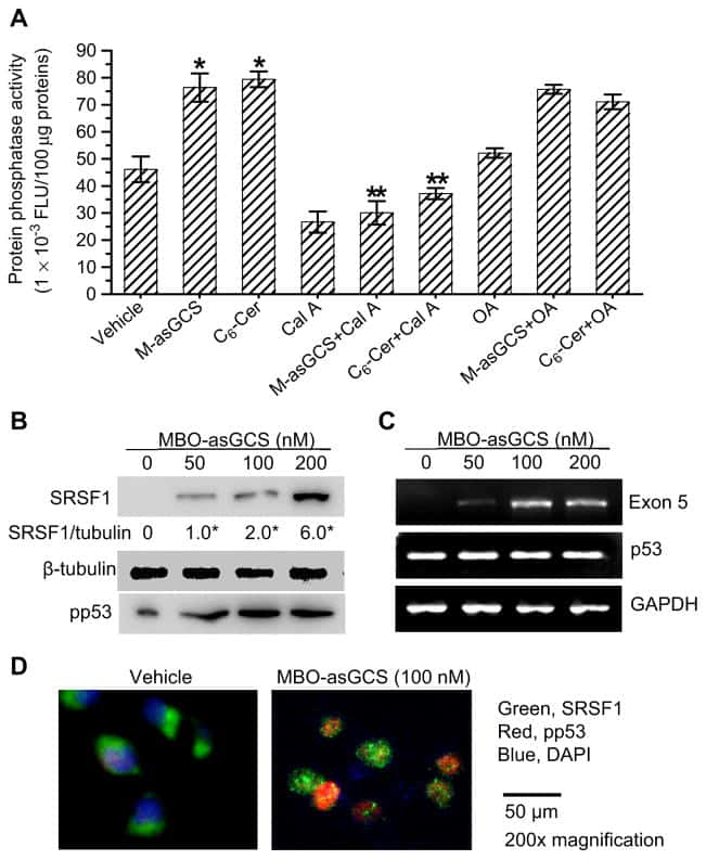 p53 Antibody