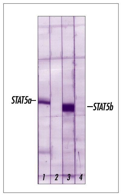STAT5 beta Antibody in Western Blot (WB)