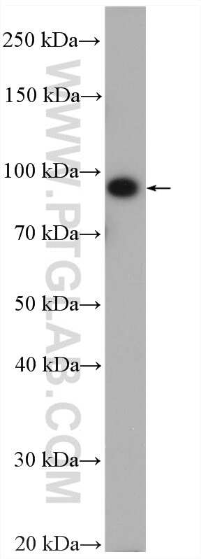 ABCG1 Antibody in Western Blot (WB)