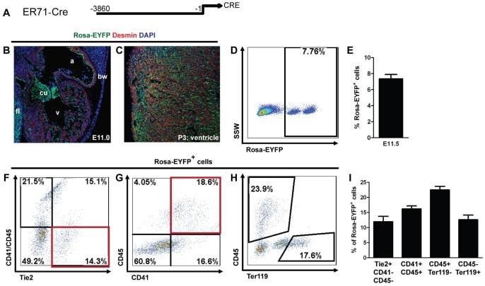CD202b (TIE2) Antibody