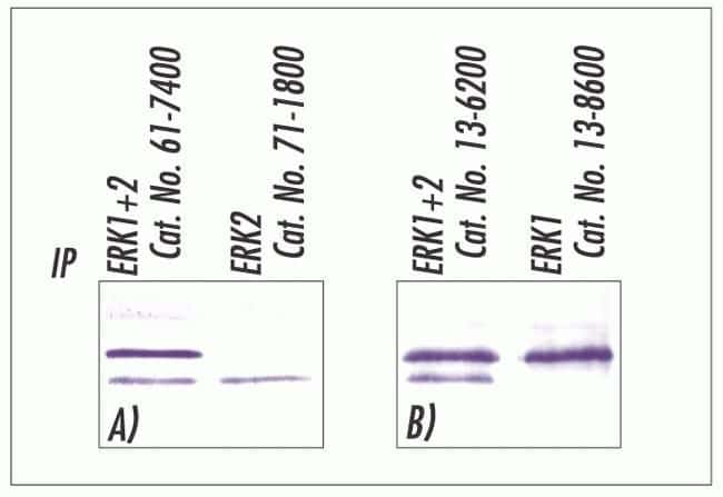 ERK1/ERK2 Antibody in Immunoprecipitation (IP)