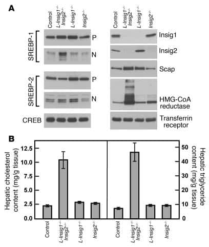 CREB Antibody