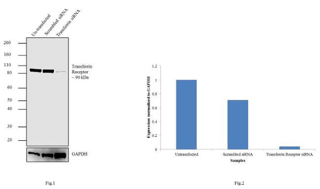 Transferrin Receptor Antibody in KnockDown