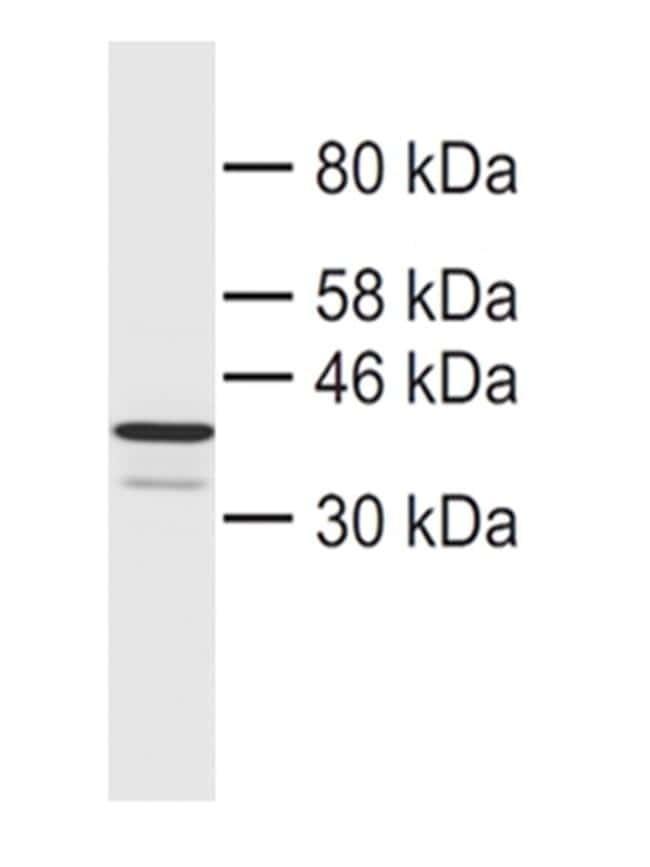 CHMP4B Antibody in Western Blot (WB)