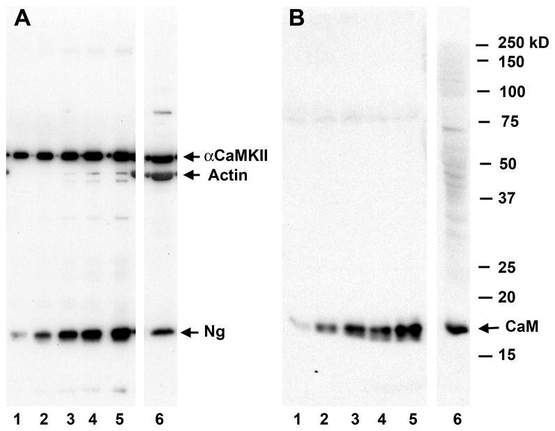 CaMKII alpha Antibody