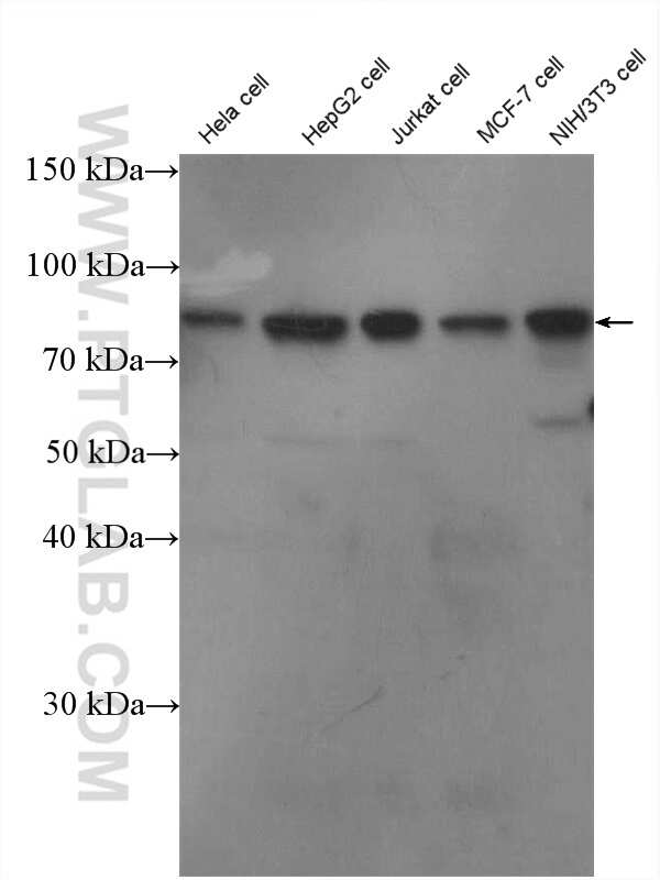 MYST2 Antibody in Western Blot (WB)