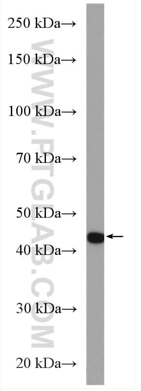 PAI-1 Antibody in Western Blot (WB)