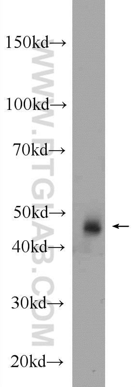 SEPT7 Antibody in Western Blot (WB)