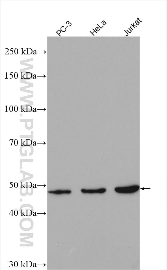 ARP3 Antibody in Western Blot (WB)