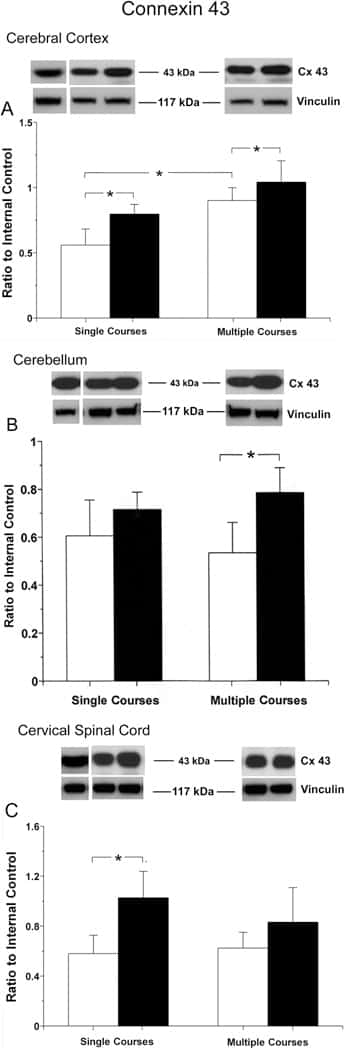 Connexin 43 Antibody