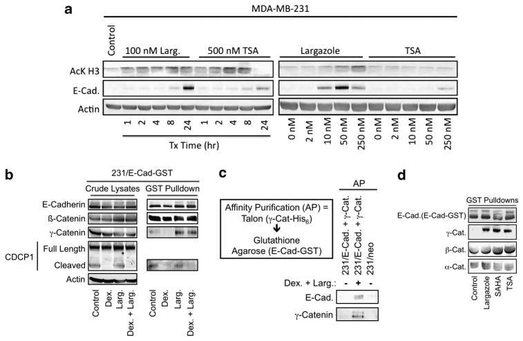 gamma Catenin Antibody