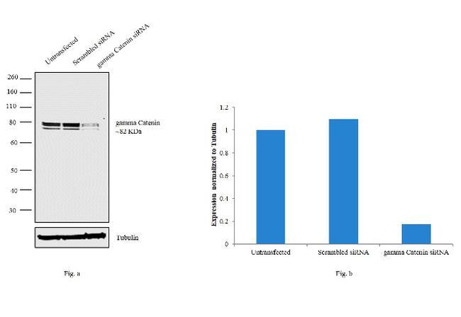 gamma Catenin Antibody in Knockdown