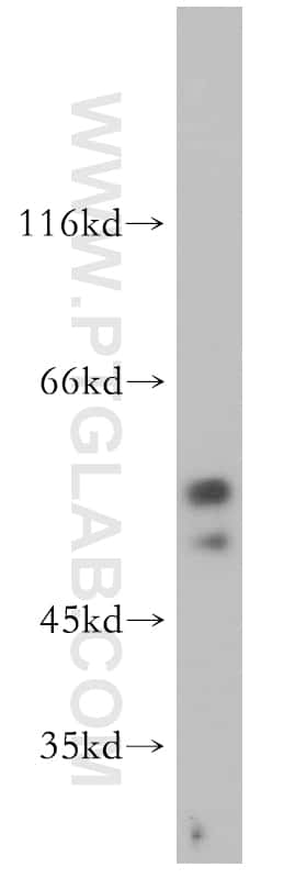 S1PR5/EDG8 Antibody in Western Blot (WB)