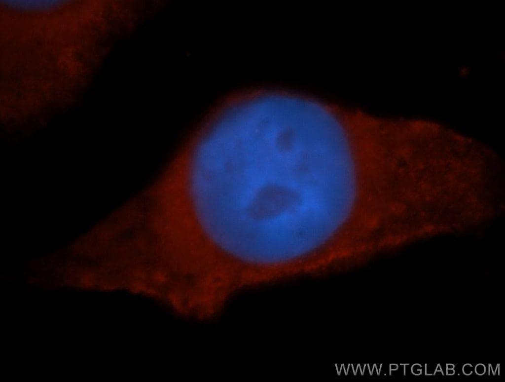 HPS5 Antibody in Immunofluorescence (IF)