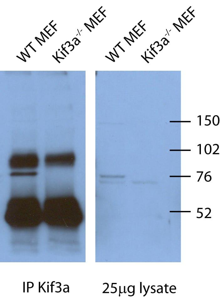 KIF3A Antibody in Immunoprecipitation (IP)