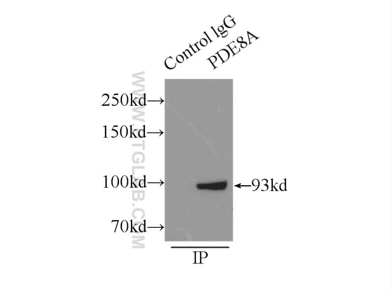 PDE8A Antibody in Immunoprecipitation (IP)