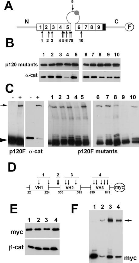 alpha Catenin Antibody