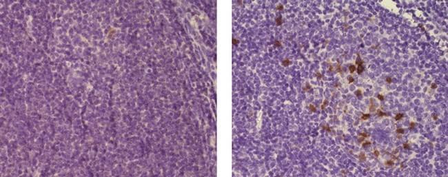 CD57 Antibody in Immunohistochemistry (Paraffin) (IHC (P))
